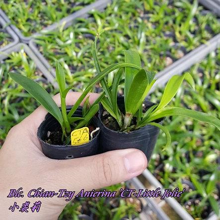 "Орхидея азиатская. Под Заказ! C.Button Top x Bc.Morning Glory ""CT-Little Jolie"". Размер: 1.7""., фото 2"