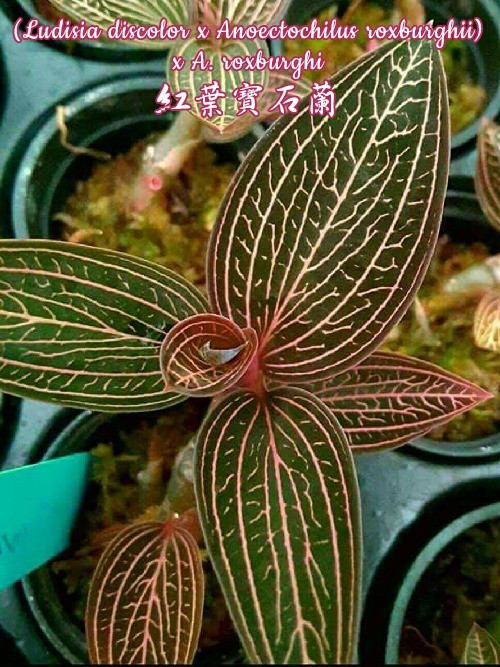 "Орхидея азиатская. Под Заказ! Ludisia discolor x Anoectochilus roxburghii x A. roxburghi. Размер: 2""."