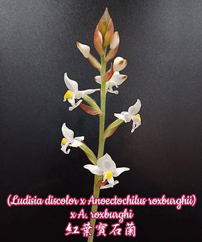 "Орхидея азиатская. Под Заказ! Ludisia discolor x Anoectochilus roxburghii x A. roxburghi. Размер: 2""., фото 2"