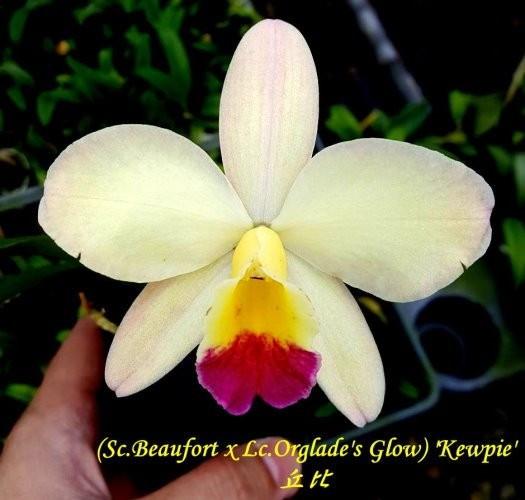 """Орхидея азиатская. Под Заказ! Sc.Beaufort x Lc.Orglade's """"Kewpie"""". Размер: 1.5""""."""