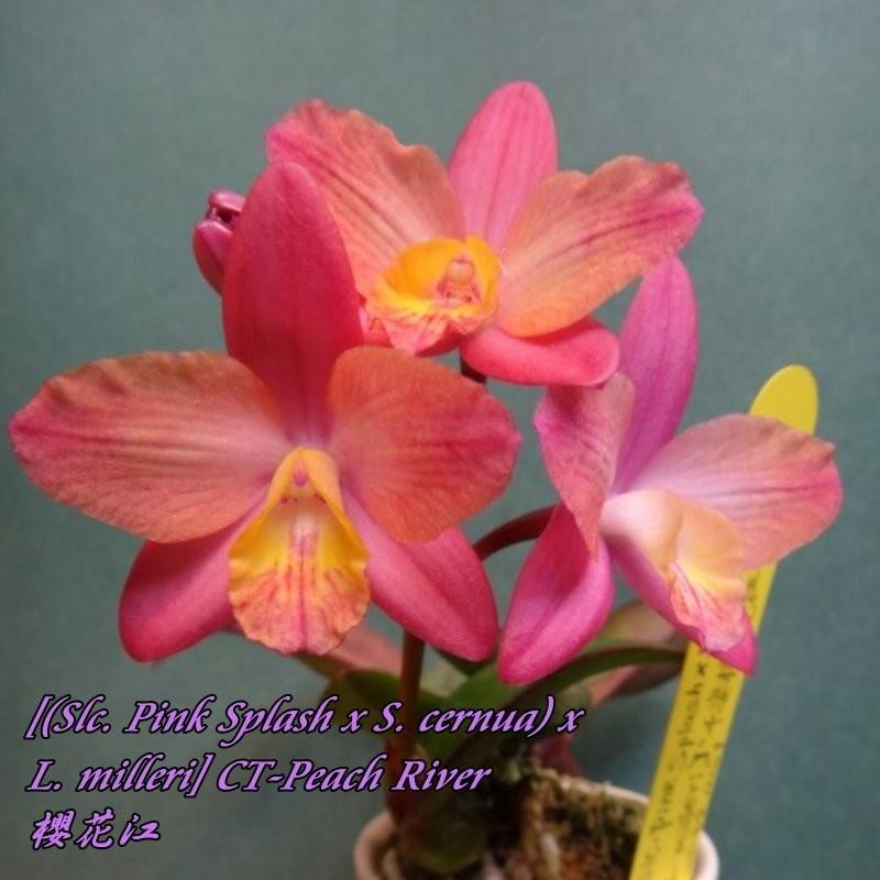 "Орхидея азиатская. Под Заказ! Slc. Pink Splash x S. cernua × L. milleri CT-Peach River. Размер: 1.7""."