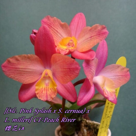 "Орхидея азиатская. Под Заказ! Slc. Pink Splash x S. cernua × L. milleri CT-Peach River. Размер: 1.7""., фото 2"