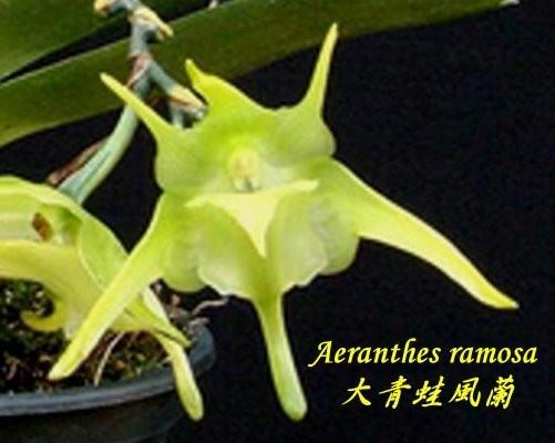 """Орхидея азиатская. Под Заказ! Aeranthes ramosa. Размер: 3""""."""