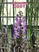 Орхидея азиатская. Под Заказ! Aerides mitrata. Размер: Cork.