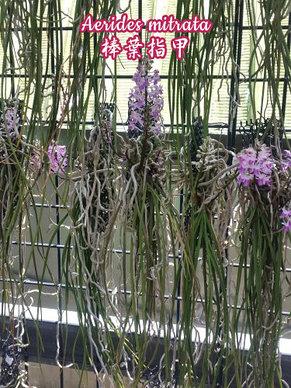 Орхидея азиатская. Под Заказ! Aerides mitrata. Размер: Cork., фото 2