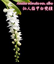 """Орхидея азиатская. Под Заказ! Aerides odorata var. alba. Размер: 3""""."""