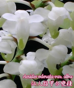 """Орхидея азиатская. Под Заказ! Aerides odorata var. alba. Размер: 3""""., фото 2"""