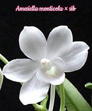 "Орхидея азиатская. Под Заказ! Amesiella monticola × sib. Размер: 2.5""."