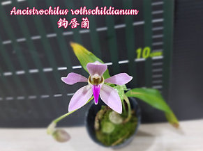 "Орхидея азиатская. Под Заказ! Ancistrochilus rothschildianum. Размер: 2.5""., фото 2"