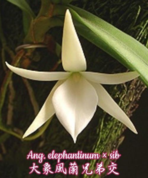 "Орхидея азиатская. Под Заказ! Ang. elephantinum × sib. Размер: 1.5""."