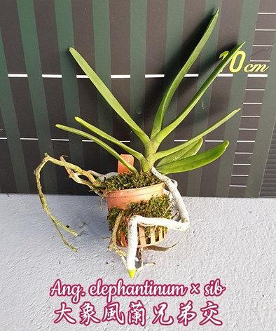 "Орхидея азиатская. Под Заказ! Ang. elephantinum × sib. Размер: 1.5""., фото 2"