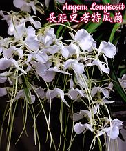 """Орхидея азиатская. Под Заказ! Angcm. Longiscott. Размер: 2.5""""."""