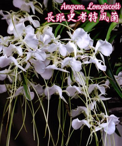 """Орхидея азиатская. Под Заказ! Angcm. Longiscott. Размер: 2.5""""., фото 2"""