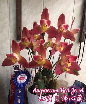 "Орхидея азиатская. Под Заказ! Angraecum Red Jewel. Размер: 3.5""., фото 2"
