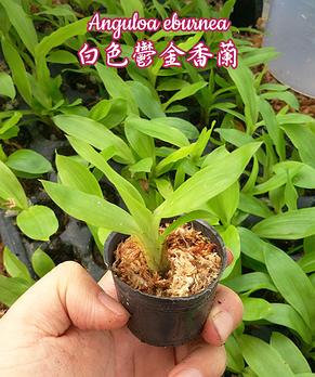 """Орхидея азиатская. Под Заказ! Anguloa eburnea. Размер: 1.5""""., фото 2"""