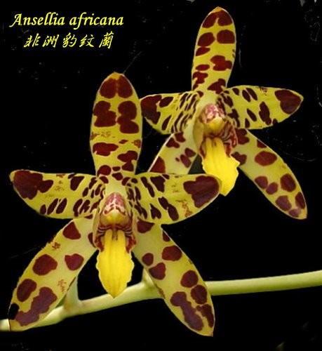 "Орхидея азиатская. Под Заказ! Ansellia africana. Размер: 3""."