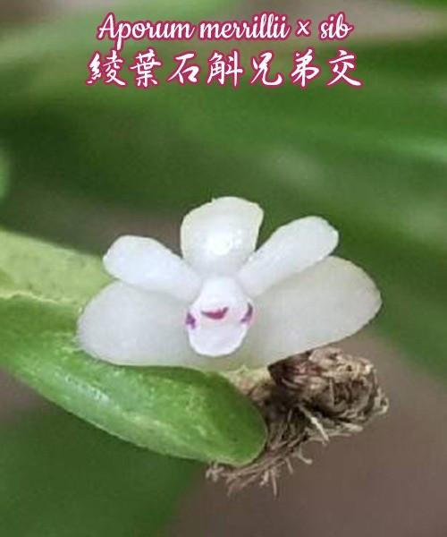 "Орхидея азиатская. Под Заказ! Aporum merrillii × sib. Размер: 2""."