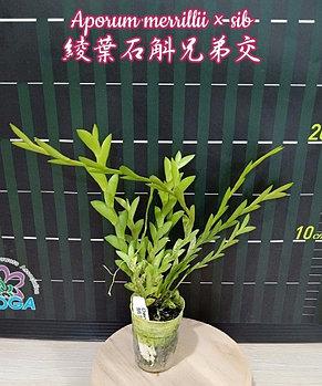 "Орхидея азиатская. Под Заказ! Aporum merrillii × sib. Размер: 2""., фото 2"