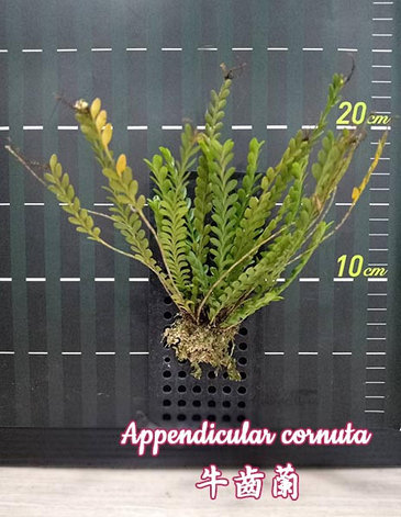 Орхидея азиатская. Под Заказ! Appendicula cornuta. Размер: bare root., фото 2