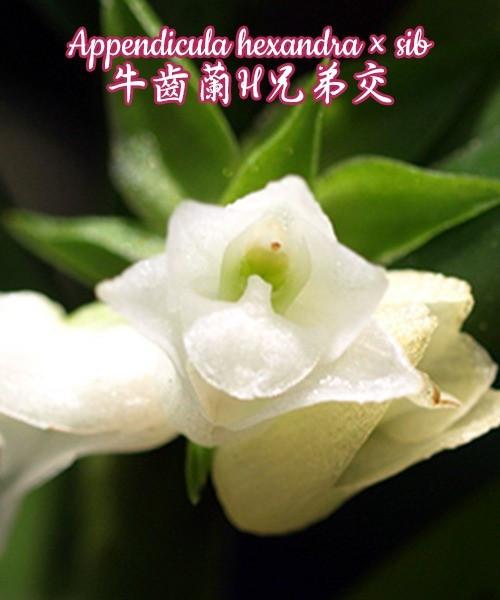 Орхидея азиатская. Под Заказ! Appendicula hexandra × sib. Размер: bare root.