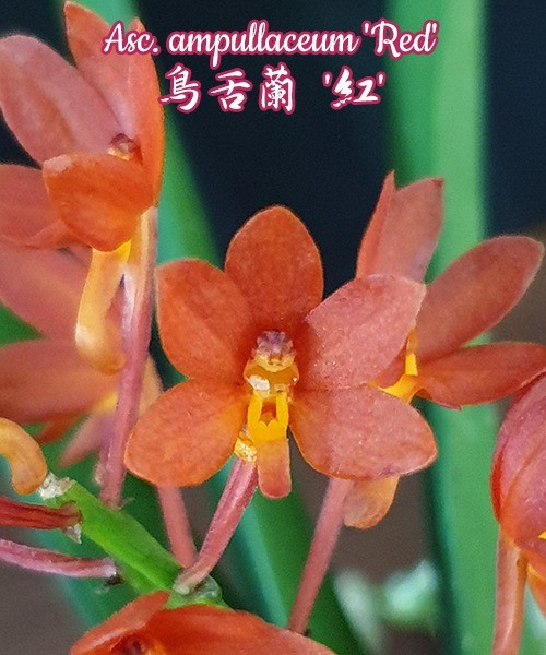 "Орхидея азиатская. Под Заказ! Asc. ampullaceum ""Red"". Размер: Cork."