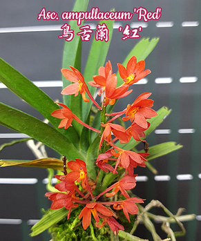 "Орхидея азиатская. Под Заказ! Asc. ampullaceum ""Red"". Размер: Cork., фото 2"