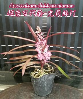 """Орхидея азиатская. Под Заказ! Ascocentrum christensonianum. Размер: 2.5""""., фото 2"""