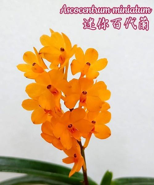 """Орхидея азиатская. Под Заказ! Ascocentrum miniatum. Размер: 2.5""""."""