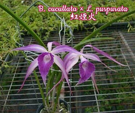 "Орхидея азиатская. Под Заказ! B. Amethyst (=B. cucullata × L. purpurata). Размер: 2.5""."