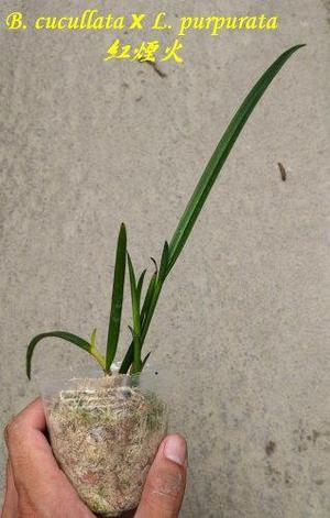 "Орхидея азиатская. Под Заказ! B. Amethyst (=B. cucullata × L. purpurata). Размер: 2.5""., фото 2"