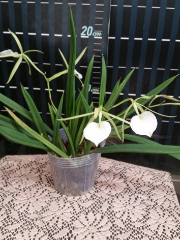 "Орхидея азиатская. Под Заказ! B. cordata × sib. Размер: 2.5""., фото 2"
