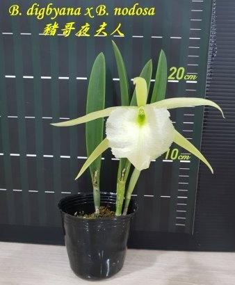 """Орхидея азиатская. Под Заказ! B. digbyana x B. nodosa. Размер: 2.5""""., фото 2"""