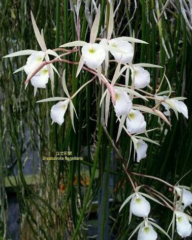 "Орхидея азиатская. Под Заказ! B. flagellaris × sib. Размер: 2.5""., фото 2"