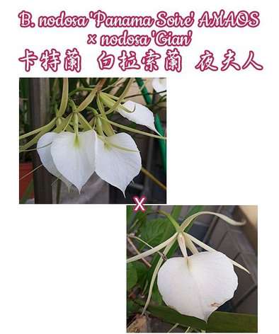 "Орхидея азиатская. Под Заказ! B. nodosa ""Panama Soire"" AMAOS × nodosa ""Gian"". Размер: 1.7""., фото 2"