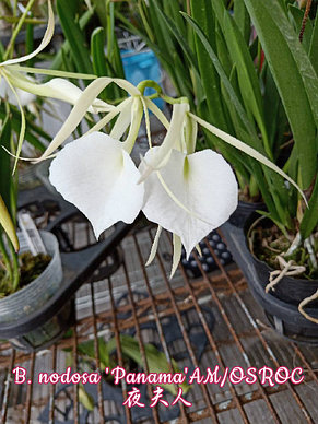 "Орхидея азиатская. Под Заказ! B. nodosa ""Panama"" AM/OSROC. Размер: 2.5""., фото 2"