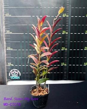 """Орхидея азиатская. Под Заказ! Bard. Sister My Love. Размер: 2.5""""., фото 2"""