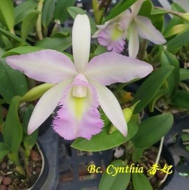 """Орхидея азиатская. Под Заказ! Bc. Cynthia. Размер: 2.5""""."""