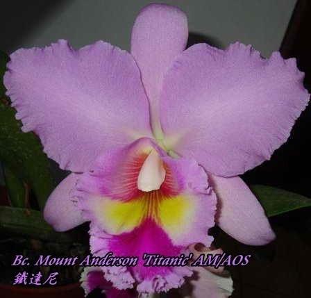 "Орхидея азиатская. Под Заказ! Bc. Mount Anderson ""Titanic"" AM/AOS. Размер: 3.5""."