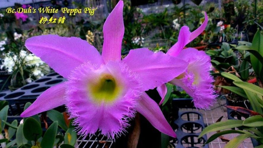 """Орхидея азиатская. Под Заказ! Bc.Duh's White """"Peppa Pig"""". Размер: 2.5""""."""