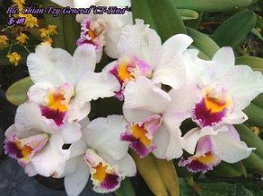 "Орхидея азиатская. Под Заказ! Blc. Chian-Tzy General ""CT-Tina"". Размер: 2.5""."