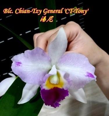 "Орхидея азиатская. Под Заказ! Blc. Chian-Tzy General ""CT-Tony"". Размер: 3""."