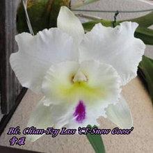 """Орхидея азиатская. Под Заказ! Blc. Chian-Tzy Lass """"CT-Snow Goose"""". Размер: 2.5""""."""