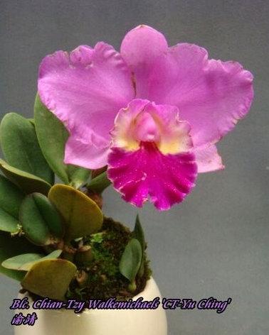 """Орхидея азиатская. Под Заказ! Blc. Chian-Tzy Walkemichaels """"CT-Yu Ching"""". Размер: 2.5""""., фото 2"""
