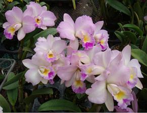 "Орхидея азиатская. Под Заказ! Blc. Chian-Tzy Year's Fantasy. Размер: 2.5""., фото 2"