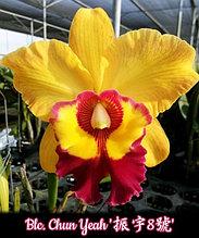 """Орхидея азиатская. Под Заказ! Blc. Chun Yeah. Размер: 3.5""""."""
