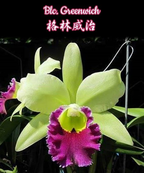 "Орхидея азиатская. Под Заказ! Blc. Greenwich. Размер: 2.5""/3.5""."