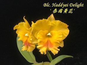 """Орхидея азиатская. Под Заказ! Blc. Haddyai Delight. Размер: 3""""."""