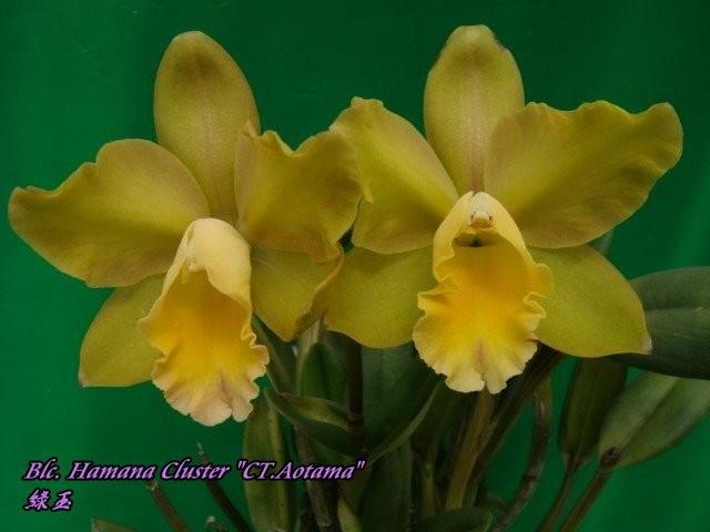 """Орхидея азиатская. Под Заказ! Blc. Hamana Cluster """"CT.Aotama"""". Размер: 3""""."""