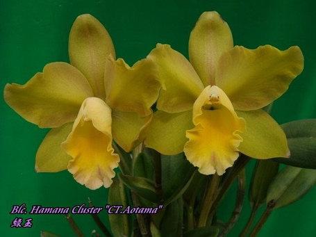 """Орхидея азиатская. Под Заказ! Blc. Hamana Cluster """"CT.Aotama"""". Размер: 3""""., фото 2"""