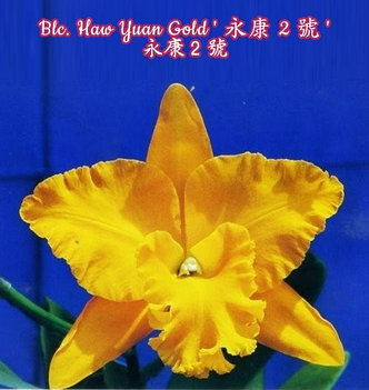 "Орхидея азиатская. Под Заказ! Blc. Haw Yuan Gold. Размер: 4.5""., фото 2"